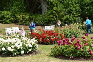 Birutės parko rožynas atsiskleidė visu grožiu
