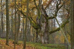 Lietuvos metų medžiu išrinktas Stelmužės ąžuolas