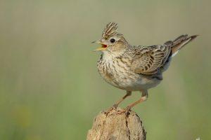 Ornitologas: kol kas į Lietuvą sugrįžta tik drąsiausi paukščiai