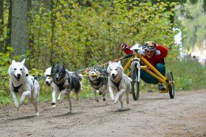 Kauno rajone – pasaulio šunų kinkinių čempionato repeticija