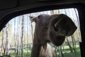 Išbandymas vairuotojams – žvėrys keliuose