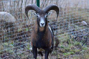 Salantų parke brakonieriai iššaudė už ES lėšas nupirktus muflonus