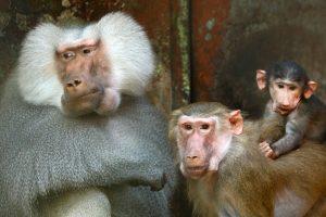 Tyrimas: tikrosios žmoginės beždžionės supranta, kada žmonės klysta
