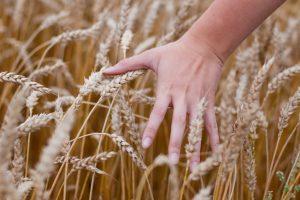 Naujausios technologijos lietuviams leidžia prikulti milijonu tonų daugiau grūdų