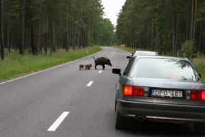 Pyktis keliuose su gyvūnais neverta