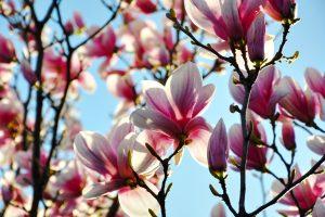 Kodėl Šilutė vadinama magnolijų miestu