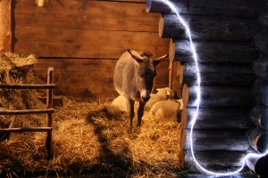 Per Kalėdas prašo nekankinti gyvūnų