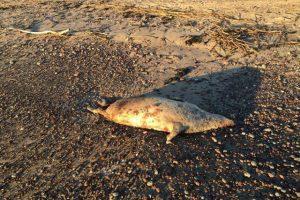 Tyrimas dėl žuvusių ruonių – kol kas be rezultatų