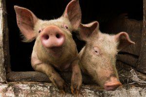 Veterinarai: nugaišintos kiaulės Jonavos rajone taršos pavojaus nekelia