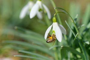 Žibuoklėse ir snieguolėse jau supasi bitės