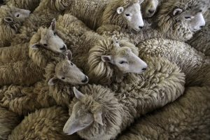 Naujojoje Zelandijoje vyksta avių kirpimo čempionatas