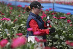 200 migrantų vertė dirbti gėlių ūkyje Britanijoje: vergavo ir daug lietuvių