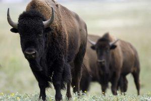 Kelmės rajono bizonų ferma ieško pirkėjo