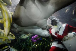 Mirė Singapūro akvariume dygliauodegės rajos sužalotas naras