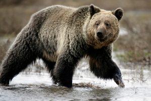 Aliaskoje lokiai apdraskė dar du žmones