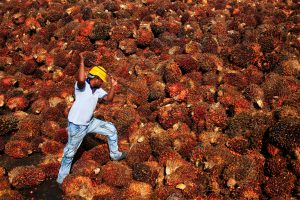 ES uždraus palmių aliejaus naudojimą biodegalams gaminti