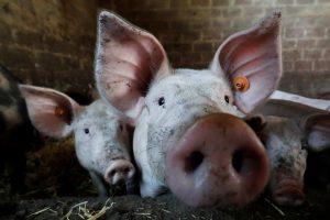 Lenkija oficialiai atšaukė draudimą importuoti lietuviškas kiaules