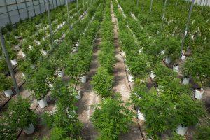 Meinas rekreaciniais tikslais legalizuos marihuaną
