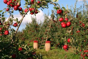Menkas obuolių derlius tirpsta, o kainos auga