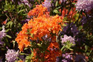 Botanikos sode pražydo rododendrai
