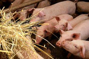 Nesutariama dėl kiaulių maro ekstremalumo