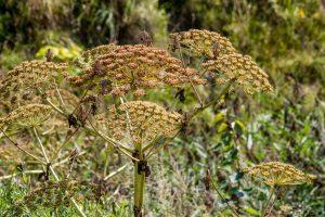 Invaziniai augalai: gražūs, bet kenksmingi