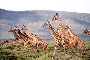 Minima pasaulinė žirafų diena