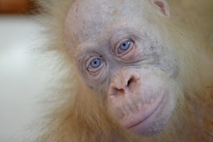 Vienintelis pasaulyje orangutangas albinosas bus paleistas į laisvę