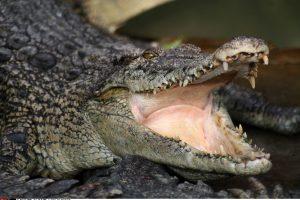 Zimbabvėje turistą suplėšė krokodilai