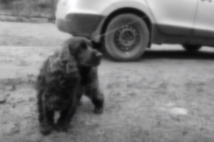 Šiurpus nutikimas: taksi automobilis grindiniu vilko šunį
