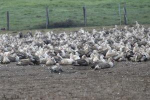 Prancūzija pradeda masiškai skersti antis plintančiam paukščių gripui sustabdyti