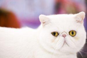 Susipažinkite: antra pagal populiarumą katė pasaulyje