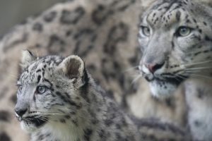 Zoologijos sode nauji gyventojai – jaguarai ir snieginiai leopardai
