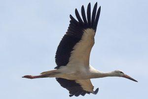 Žiemoti išskridę paukščiai rizikuoja atsidurti pietiečių lėkštėse