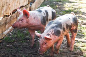 Medžiotojai privalės tikrinti teritorijas aplink kiaulių laikymo vietas