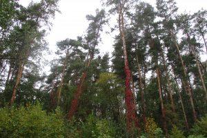 V. Pranckietis: valstybiniai miškai galėtų tiekti daugiau medienos