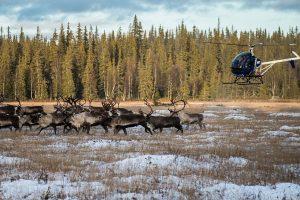 Arkties regionuose dėl rekordinės kaitros tuneliuose slepiasi šiaurės elniai
