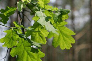 Kėdainių rajone miškininkai sodina sodinukus iš senųjų ąžuolų