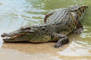 Zoologijos sode poruodamasi užduso retos rūšies krokodilų patelė