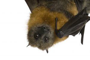 Namai, kuriuose šikšnosparniai – laukiami svečiai