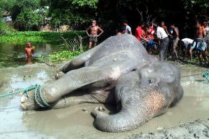Bangladeše nugaišo dramblys, dėl potvynių nukeliavęs apie 1700 km