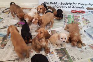 Airija – nelegalaus šunų veisimo sostinė