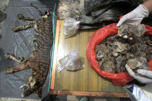 Indonezijos policijos laimikis – tigro kailis ir elnių genitalijos