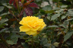 Išrinkime kvapniausią Kauno botanikos sodo augalą