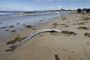 Klaipėdiečiai stebisi: pajūryje – dešimtys negyvų žuvų