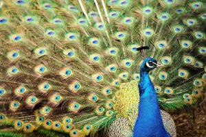 Povai plunksnas krato norėdami užhipnotizuoti partneres