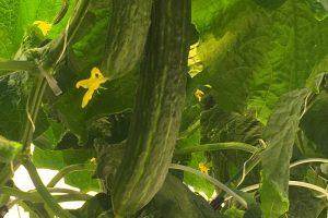 Šių metų lietuviškų agurkų derlius – kaip niekad anksti