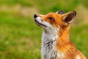 Baigta laukinių gyvūnų vakcinacija nuo pasiutligės