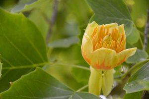Botanikos sode žiedais apsipylė tulpmedžiai ir kaktusai