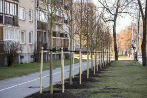 Vilnių papuoš beveik auksiniai medžiai: vieno kaina – 400 eurų